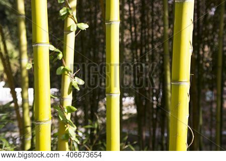 Bamboo. Bamboos Forest. Green Trunks Of A Bamboo Grove