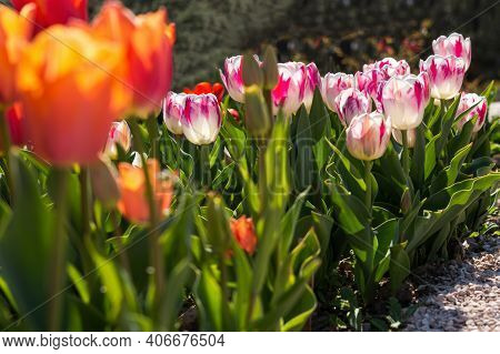 Pink And Red Tulips In The Garden In The Garden. Beautiful Spring Flower Background. Soft Focus And