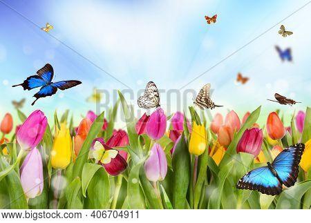 Beautiful Tulips In A Tulip Field In Winter Or Spring. Colorful Tulips In The Garden. Beautiful Tuli
