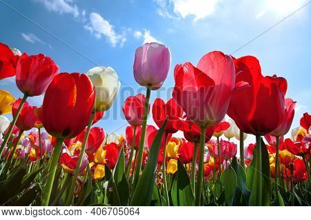 Tulips. Beautiful Tulips In A Tulip Field In Winter Or Spring. Colorful Tulips In The Garden. Beauti