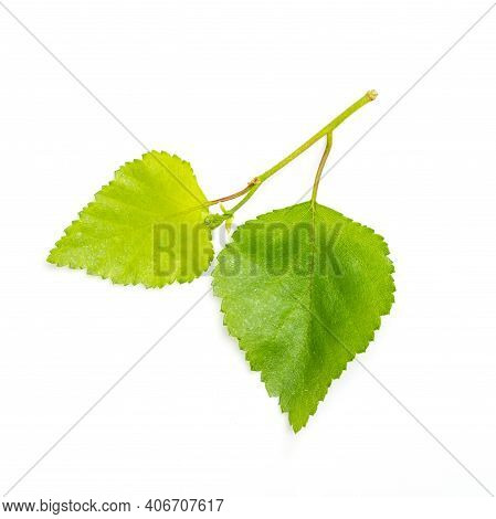 Birch Twig With Young Spring Green Leaves On White Background. Spring Nature. Plant Growth In Spring