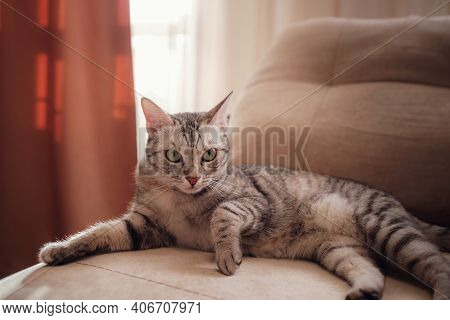 A Funny Gray Cat Rests On The Sofa On A Sunny Day