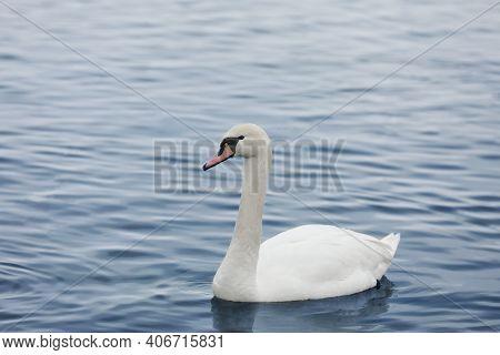Profile Of White Swan On Blue Misty Lake. Graceful White Swan Swimming In The Lake, Swans In The Wil