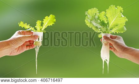 Hand Of Young Man Holding Hydroponic Pot With Vegetable Seedling Growing On Sponge Isolated On Blurr