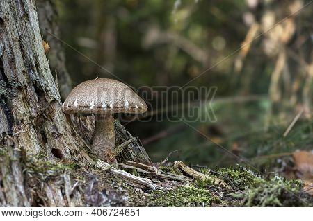 Leccinum Scabrum, Commonly Known As The Rough-stemmed Bolete, Scaber Stalk, And Birch Bolete, Is An