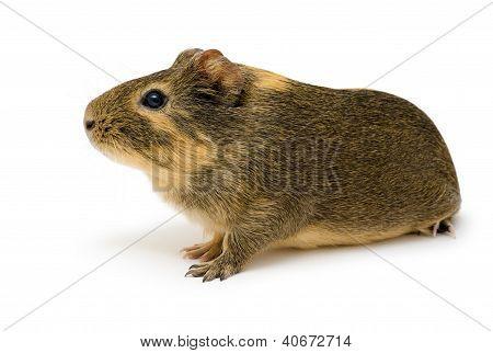 Cavy, Guinea Pig