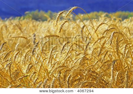 Ripe wheat ears on the field before harvest poster