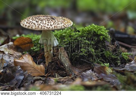The Stinking Dapperling (lepiota Aspersa) Is A Poisonous Mushroom , An Intresting Photo