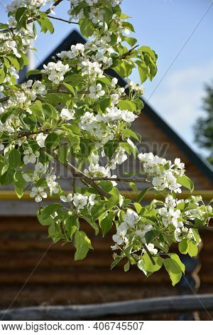 The Pear Blooms In Spring. Blossoming Of Young Pears In Early Spring. Pear Branch With Flowers Close