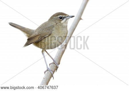 Happy Fat Brown Bird Perching On Wooden Branch Isolated On Whtie Background, Female Siberian Rubythr