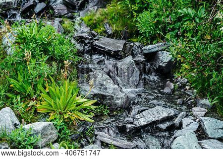 Great Variety Of Grasses And Flowers Near Spring Water Among Stones. Mountain Clear Water Stream Nea