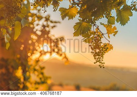 Grapes Leaves In A Vineyard. Vineyards At Sunset, Closeup, Sun Rays. Relaxing Agriculture Nature Sce