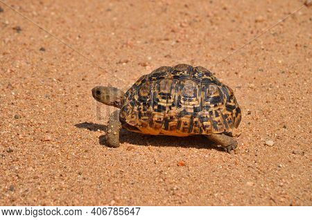 Small Turtle In South Africa Walkes Over Street