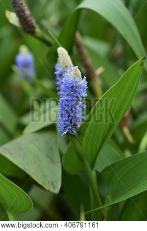Pickerelweed (pontederia Cordata) Is An Aquatic Plant Of Pontederiaceae Perennial That Blooms Pale B
