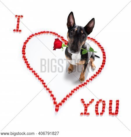 Miniature Bull Terrier Dog On Valentines Love Heart Shape With I Love You Sign As Background Isolate