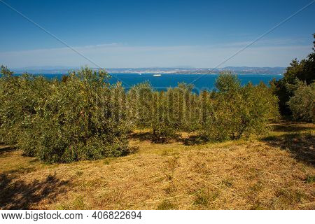 View Of Olive Groove Next To The Adriatic Sea In Strunjan, Slovenian Istria
