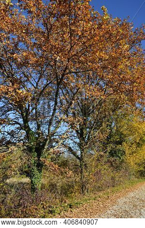 An Autumnal Oak Tree Near The Village Of Moimacco Close To Cividale Del Friuli, Udine Province, Friu