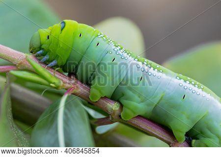 Caterpillar Worm On Tree. Close Up Caterpillar Worm Or Daphnis Neri Worm In Nature. Caterpillar Worm
