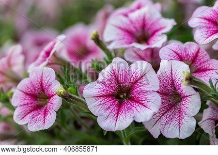 Petunia Flowers In Garden. Petunia Flower For Decoration. Close Up White-red Petunia Flower. Petunia