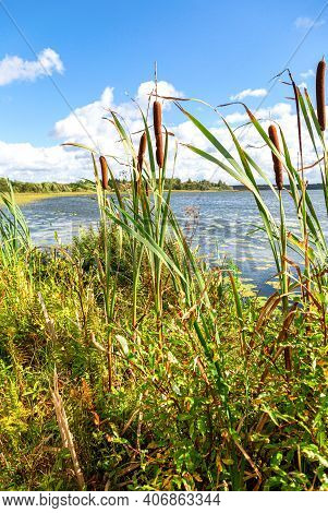 Bulrushes, Or Cattails On The Forest Lake In Sunny Day