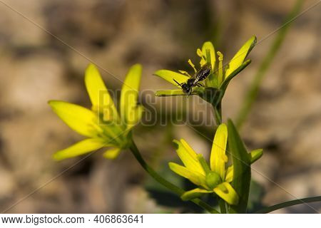 Black Wasp On A Yellow Meadow Flower Gagea Lutea. Small Wasp Collects Pollen On A Yellow Spring Flow
