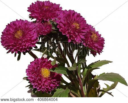 Aster Is A Genus Of Perennial Flowering Plants In The Family Asteraceae. Its Circumscription Has Bee