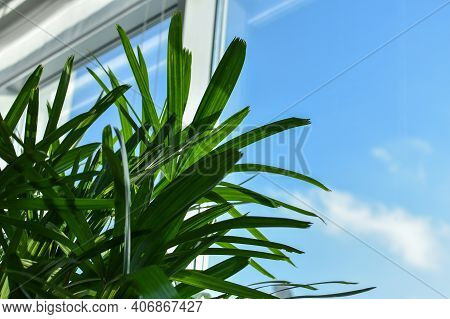 Palm Leaves On Background Of Window And Blue Sky. Green Plant In An Office Or Apartment Near Window