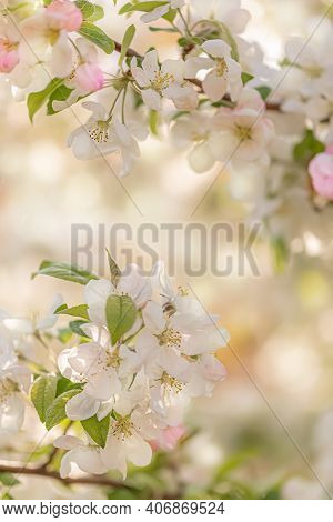 Blooming Apple Tree Branch. White Flowers In Spring In The Garden And Blurred Background With Bokeh.