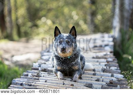 Blue Heeler Dog Is Lying Down On Wooden Bridge In Forest. Portrait Of Australian Cattle Dog At Natur
