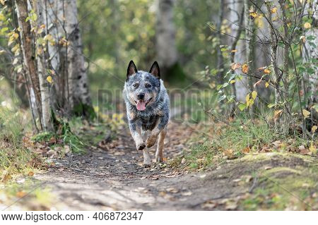Young Australian Cattle Dog Is Running Among Forest. Blue Heeler Activity Portrait.