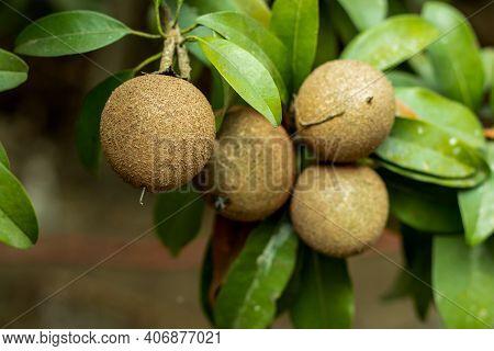 The Photography Of Exotic Chiku Fruit, Known As Sapodilla, Manilkara Zapota Chickoo, Chikoo, Sapota,