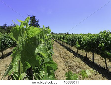 Looking Through The Grapevines