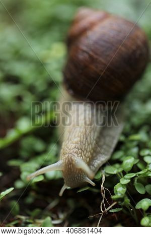 Snail On A Green Leaf . Snail Mucus. Snail Mucin.large Brown Snail On Microgreen Clover On Blurred G