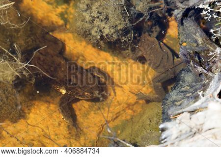 Two Common Toad On The Bottom Of The Pond Preparing To Mate