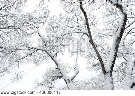 Beautiful Winter Trees With Clean Snow On Branches Over White Background In The Cold Overcast Day