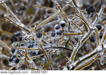 Winter Icing. Icing. Branches Of Trees With  Black Berries In Ice On Blurred Gray Natural Background