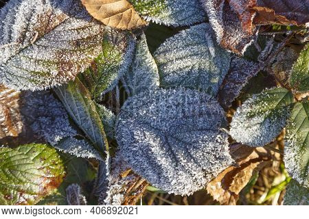 Frozen Colorful Leafs In Sunlight. Multicolored Fallen Leaves Covered With White Hoarfrost, View Fro