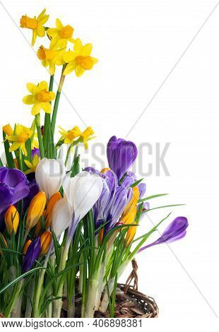 Spring Flowers Isolated On White Background. Wicker Basket With Crocuses And Daffodils.