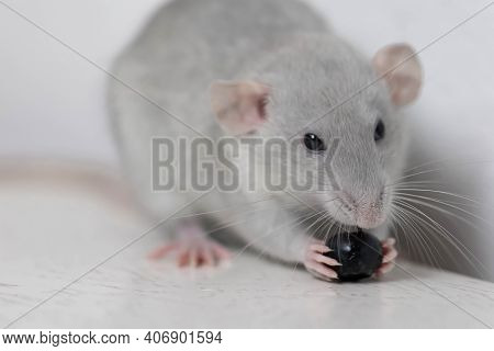 A Cute Gray Little Decorative Rat Eats Delicious And Juicy Blueberries. Rodent Close-up