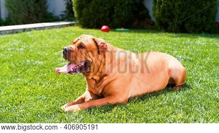 Dog Breed Bordeaux Dog, Bordeaux Mastiff, French Mastiff, Bullmasted Lies On The Lawn On The Green G