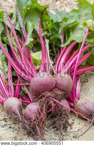 Beetroots, Beetroot Boltardy, Table Beet Or Garden Beet And Beet Greens Outdoors After Harvesting, U