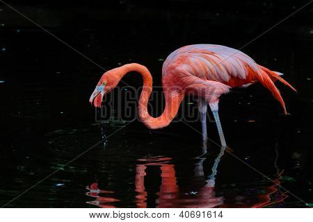 Flamingo drinking water
