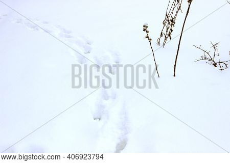 Traces Of Animals In Fresh Deep Snow. Footprints In The Snow.