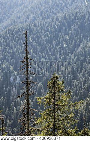 Coniferous Forest, Low Tatras Mountains, Slovak Republic. Hiking Theme. Seasonal Natural Scene.