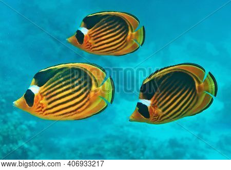 Three Diagonal Butterfly Fish In The Blue Sea Water (chaetodon Fasciatus). Beautiful Scene Of Coral
