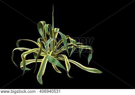 Ornamental Plants. Agave ( Agave Americana ). Isolated On Black Background