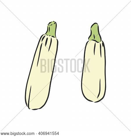 Zucchini. Vector Hand Drawn Vegetables Isolated On White Background. Zucchini, Vector Sketch Illustr