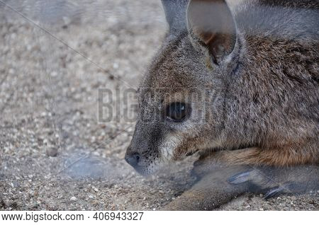 The Red-necked Wallaby Or Bennett Wallaby (macropus Rufogriseus)