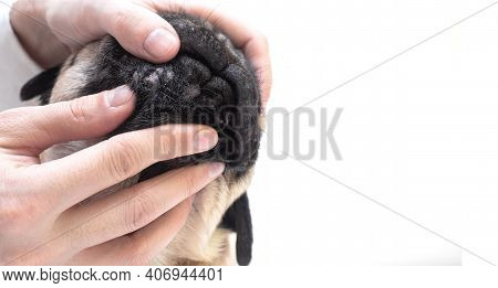 Portrait Of A Pug Dog With Red Inflamed Wounds On His Face. Dog Allergy, Dermatitis, A Fungal Infect