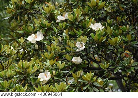 Southern Magnolia Is A Magnoliaceae Evergreen Tree With Large White Flowers That Bloom In Early Summ